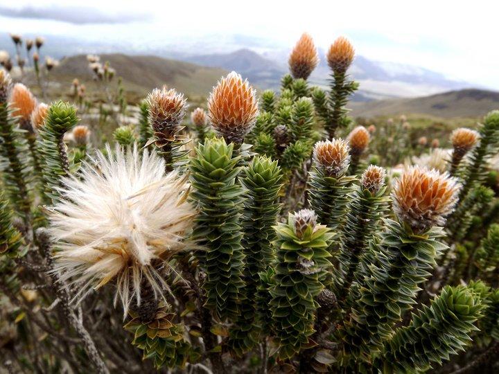 Image gallery 4: La flor de la chukirawa